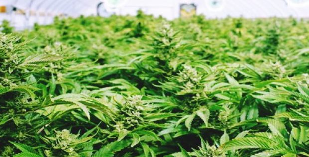 Aleafia Health agrees to buy medical cannabis